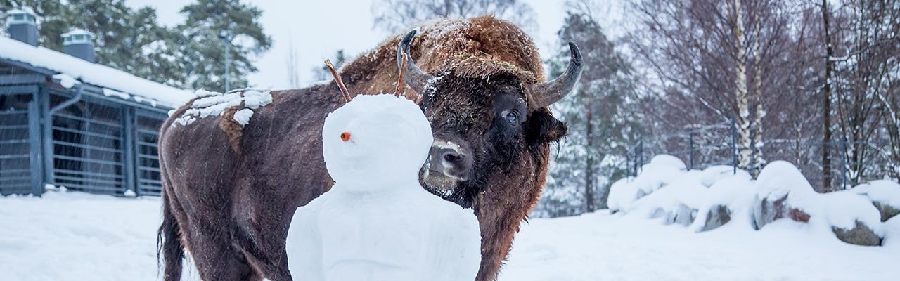 Talvilomalla visenttikin voi innostua painimaan!