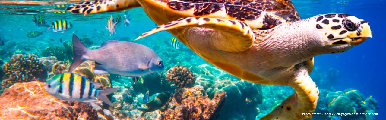 Kuvassa merikilpikonna koralliriutalla. 66 % merialueista on muuttunut merkittävästi ihmisen toiminnasta johtuen, kertoo IPBES-luontoraportt