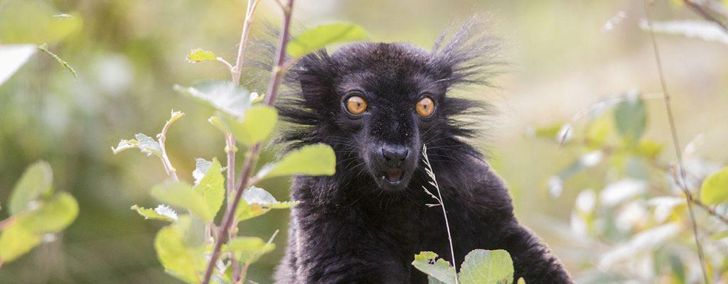 Mustamaki, black lemur