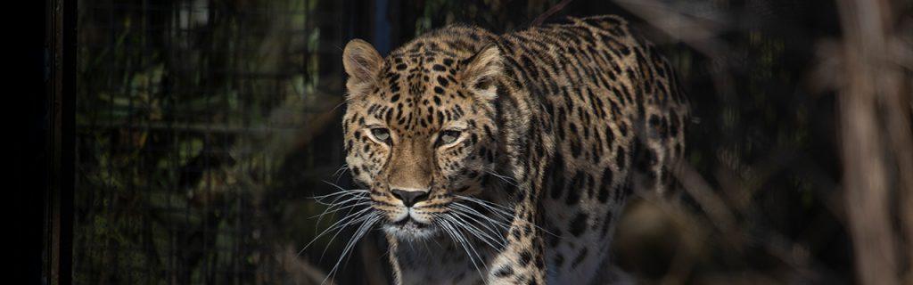 Kissojen Yössä suojellaan uhanalaisia Amurin kissapetoja