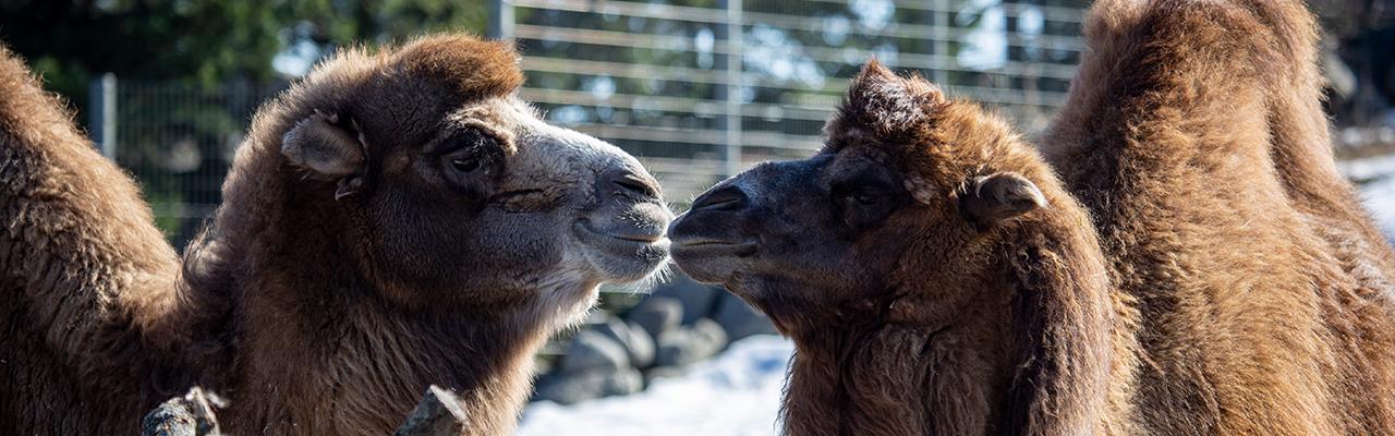Kamelit ystävyyden jäljillä