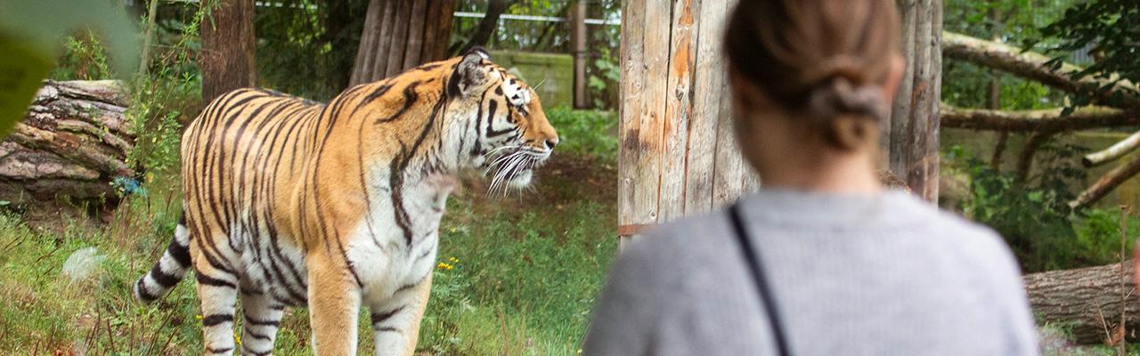 Eläintarhavierailija katselee tiikeriä