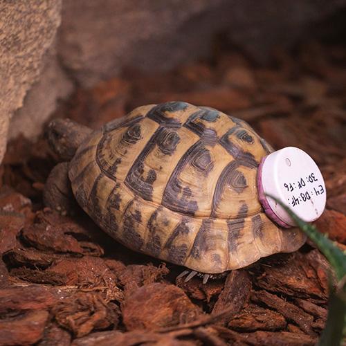 Kilpikonnan liikkeitä seurataan lähettimellä