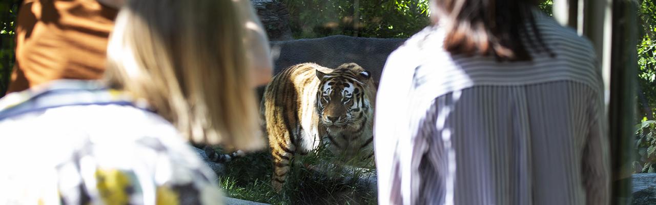 Ihmiset katsovat tiikeriä