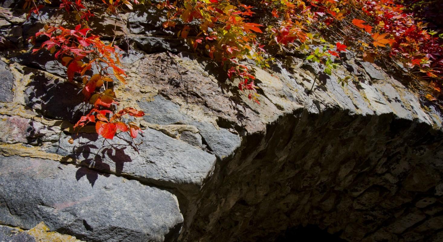 Harmaakivimuuria pitkin kasvava köynnöskasvi ruskan väreissä.