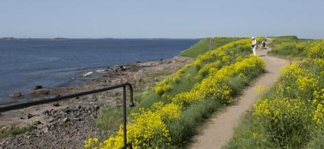 Kustaanmiekan vallien harjalla kulkeva polku ja kukkivia idänukonpalkoja.