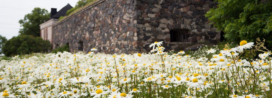 Kuvassa näkyy valkoinen kukkaketo, jonka taustalla Suomenlinnan muuria
