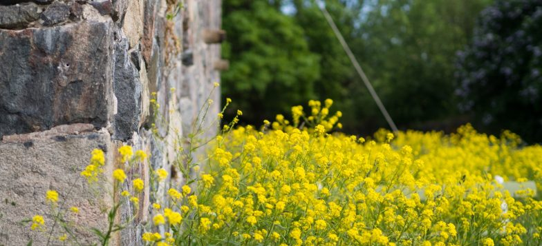 Muuria ja keltaisia ukonpalkoja kasvamassa kesäisessä linnoituksessa