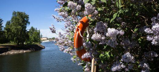 Kuvassa syreenipensas täydessä kukkaloistossa
