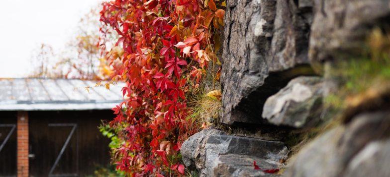 Kuvassa muuria ja punaisia syksyn lehtiä