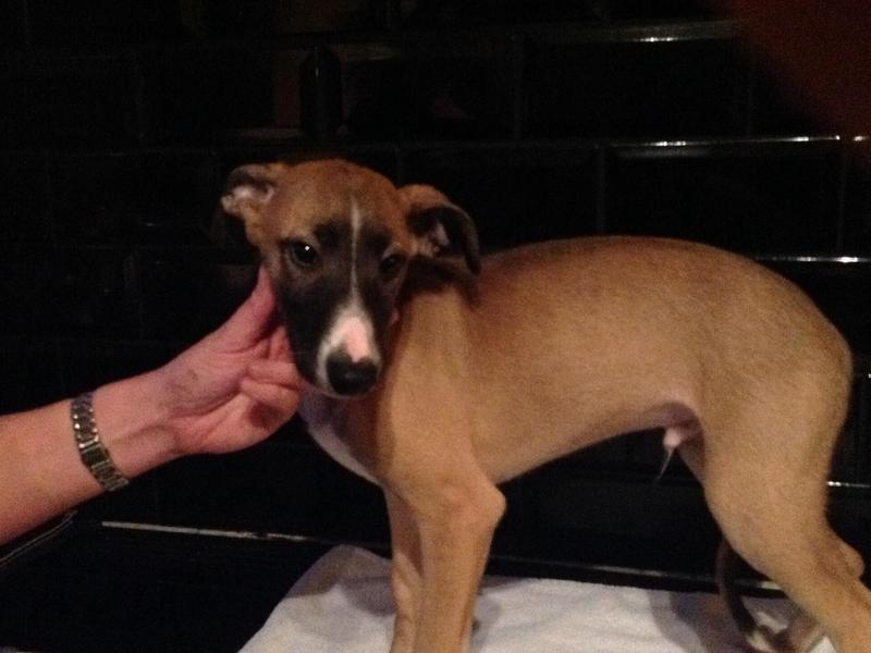 Saluki/whippet puppies in Lancaster - Expired | Friday Ad