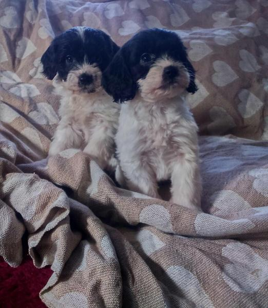 Sproodle /springerdoodle puppies for sale in Tamworth - Expired