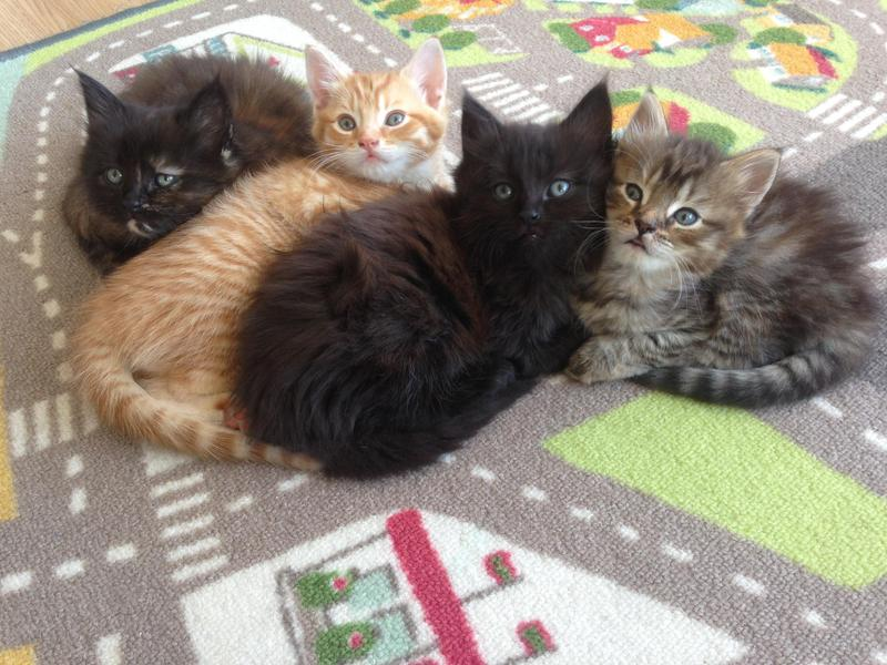 Maine Coon X Kittens in Eastbourne - Sold | Friday Ad