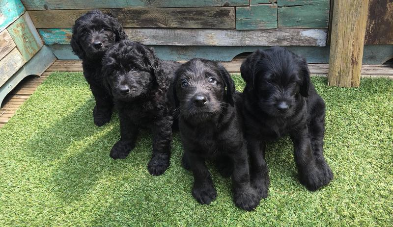 F3 Standard LABRADOODLE puppies for sale in Liverpool