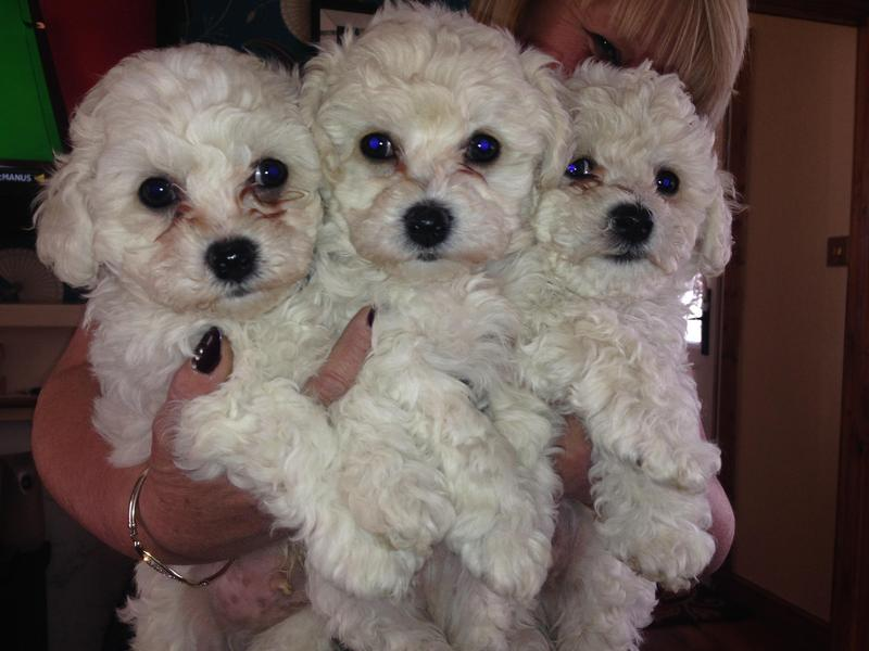 3 Bichon Frise puppies for sale in Leeds - Expired | Friday Ad