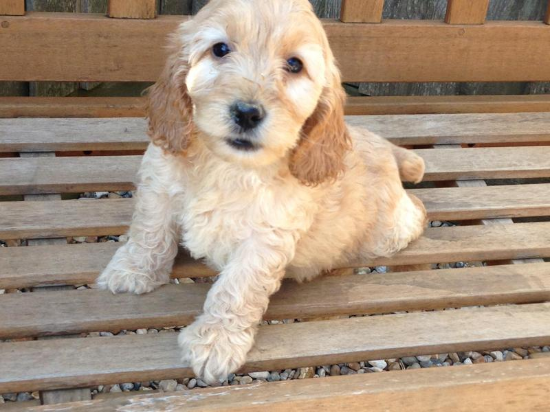 Gorgeous apricot & champagne cockapoo puppies in Southampton