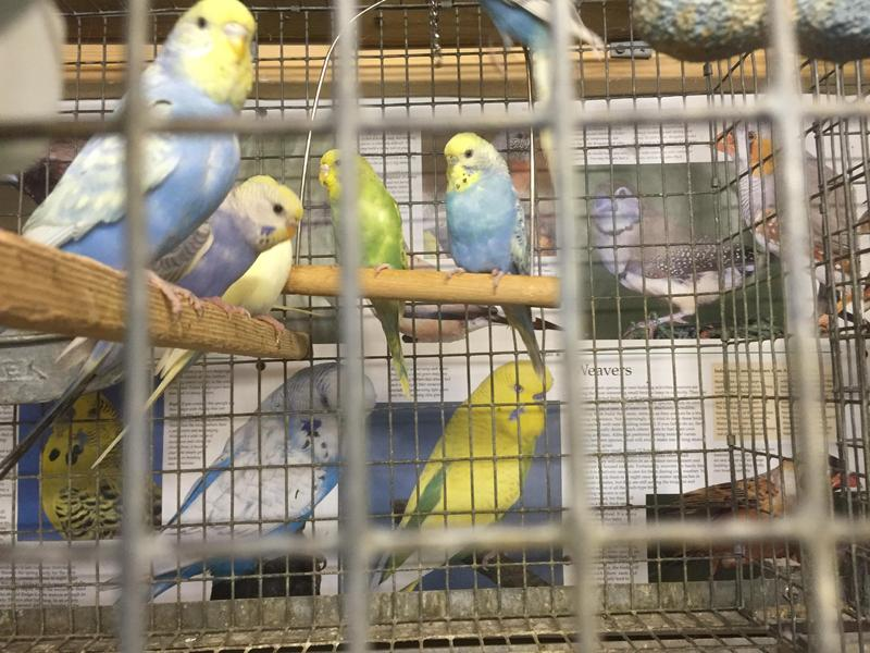 Beautiful baby budgies for sale in London - Expired | Friday-Ad