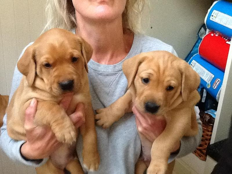 Stunning fox red and golden Labrador puppies  ALL SOLD   in