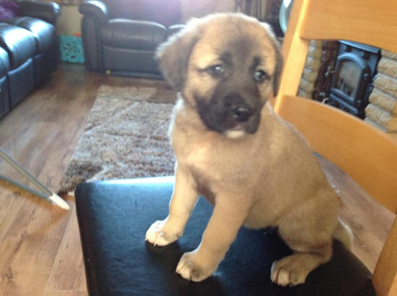 Turkish Kangal puppies in Gloucester - Expired | Friday Ad