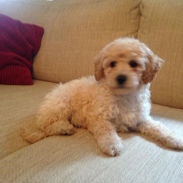 Beautiful Poochon Puppies (poochon x kc reg  toy poodle) in