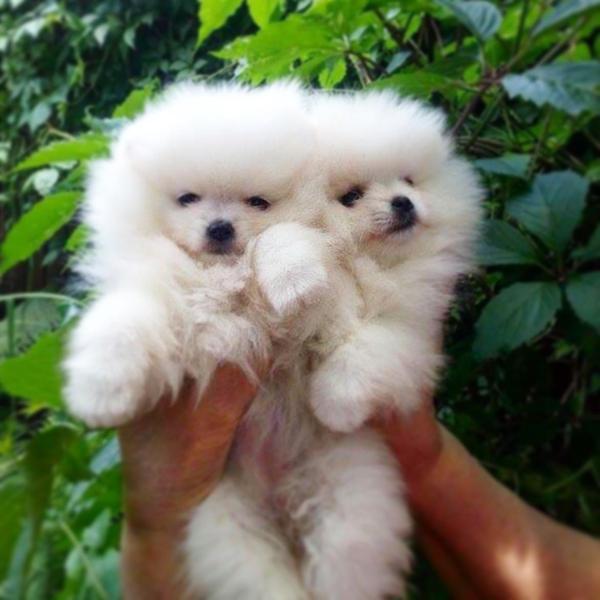 Stunning Polar Bear Pure White Pomeranian Puppies In London