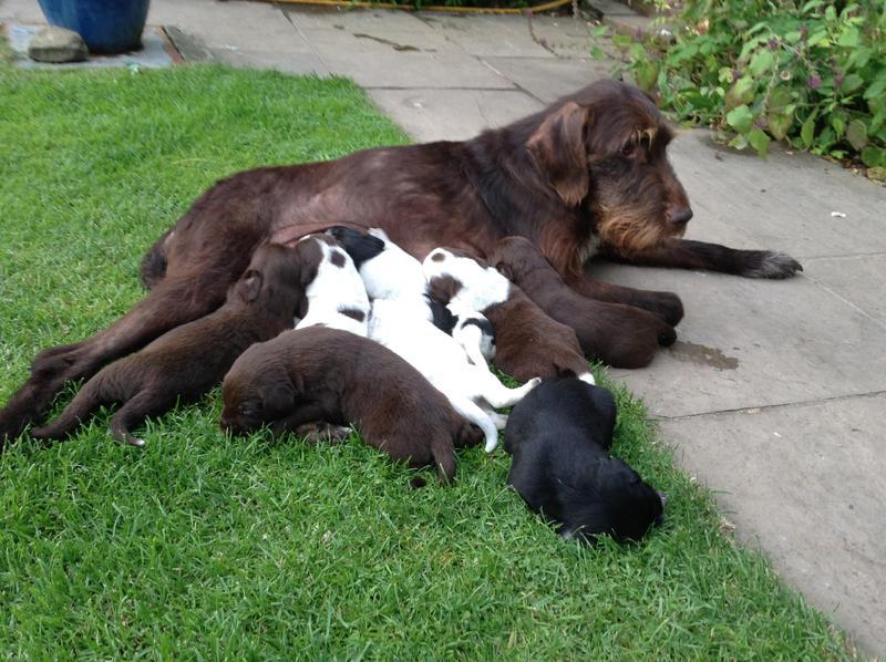 German Wire Haired Pointer X Border Collie Puppies In Kington
