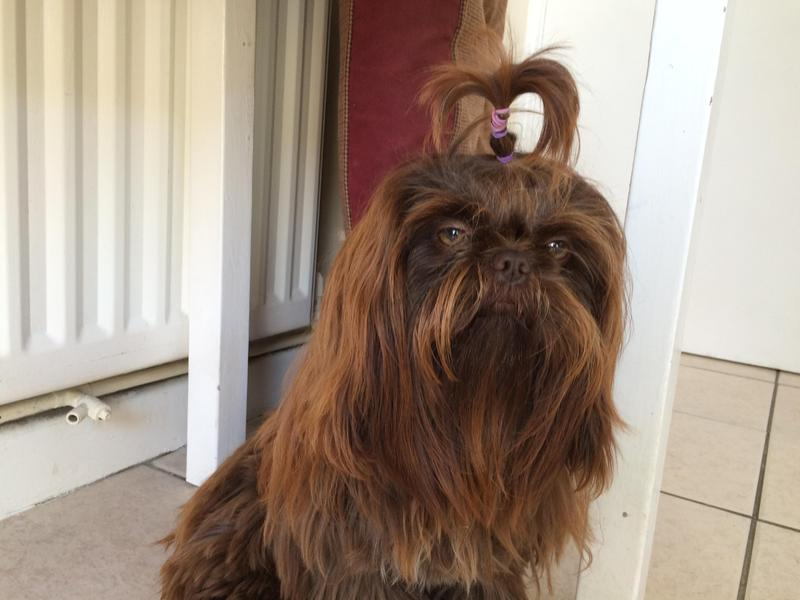 Shih Tzu Imperial Chocolate For Stud In Hove Expired Friday Ad