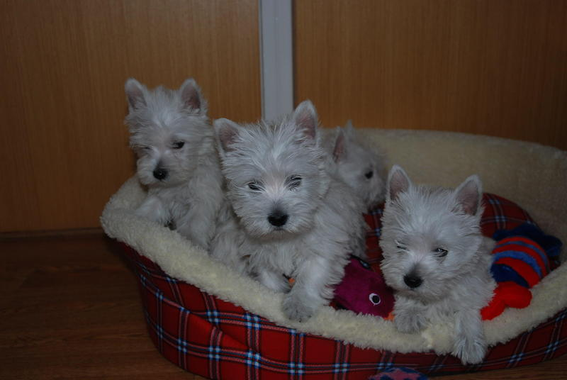West Highland Terrier Puppies in Lampeter - Expired | Friday Ad