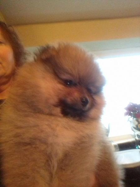 Beautiful TeddyBear Pomeranian Puppies 1 Boy & 1 Girl in