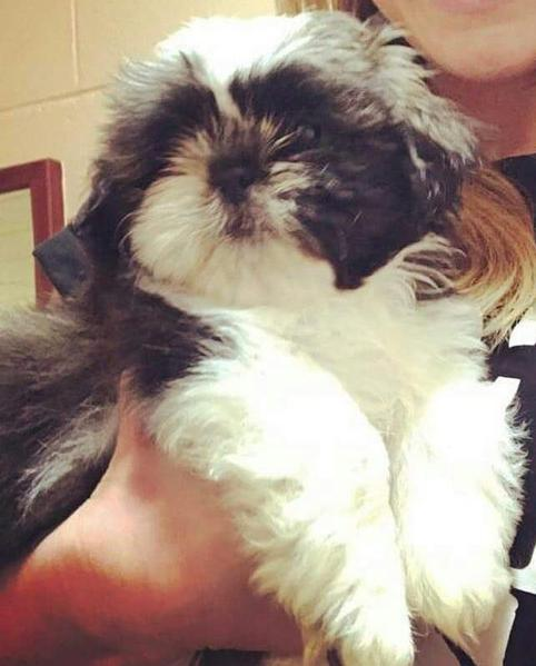 Adorable Male Shih Tzu Puppies For Sale In Burnley Expired Friday Ad