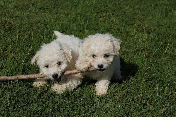 Beautiful Bichon Frise Puppies in Birmingham - Expired