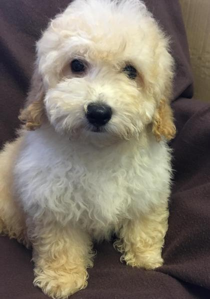 Cavapoo Puppies For Sale In London In London Expired Friday Ad