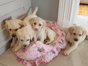 Puppies Dogs For Sale In Nottingham Buy A Puppy Near You Friday Ad