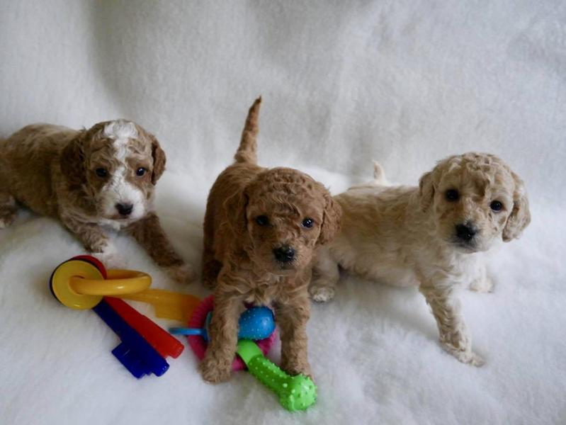 Gorgeous Cockapoo puppies for sale – boys and girls F1B in