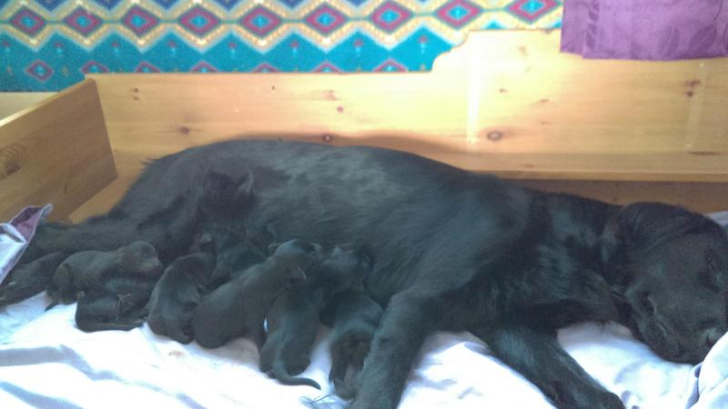 Red fox Labrador Retriever X Flat Coated Retriever Puppies in York