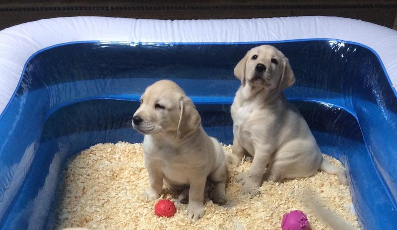 Chunky golden Labrador puppies for sale in Pencader