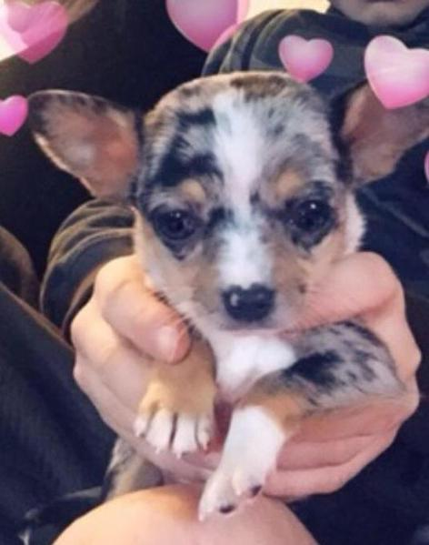Very Rare Blue Merle Chihuahua Puppies In Henfield Expired Friday Ad