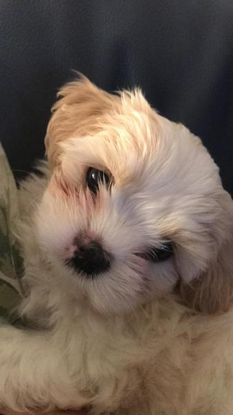 Beautiful Shih Tzu X Bichon Frise For Sale In Enfield Sold Friday Ad