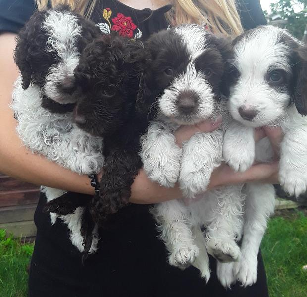 Stunning F1B Cockapoo boy pups in South Petherton - Expired