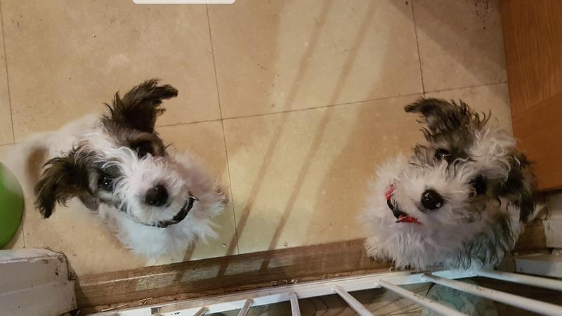 Jack Russell x bichon frise puppies in Lewes - Expired