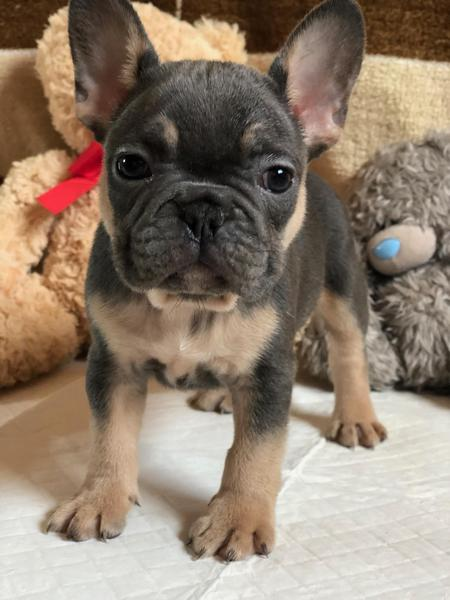 Lovely Black Blue Tan French Bulldog Puppies In London Expired