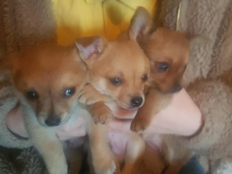 POMCHI PUPPIES POMERANIAN / CHIHUAHUA 7 WEEKS OLD in