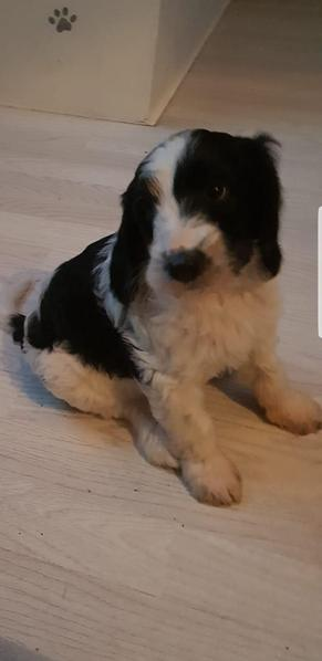 LAST ONE!! F1b cockapoo PRA CLEAR in Wigan - Expired | Friday Ad