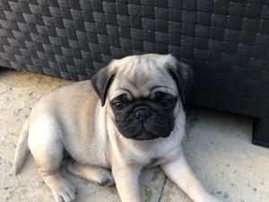 Puppies Dogs For Sale In Wigan Buy A Puppy Near You Friday Ad