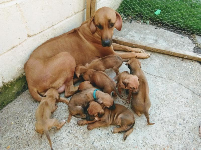 Rhodesian Ridgeback puppies microchipped vet checked full