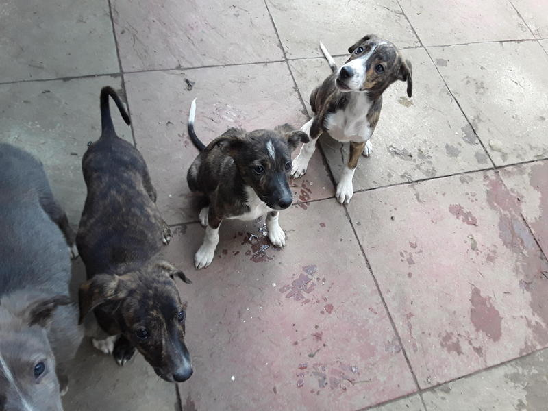 Saluki Whippet X Collie Whippet pups in Rochester - Expired