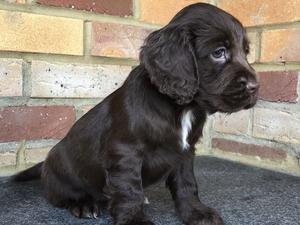 Dogs For Sale Near Tonbridge