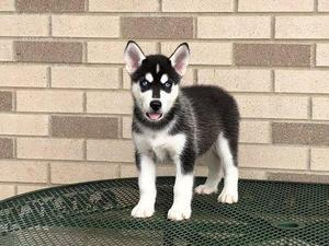 Kc registered siberian husky puppies for sale