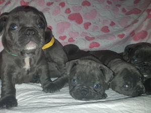 Puppies Dogs For Sale In Pegsdon Buy A Puppy Near You Friday Ad