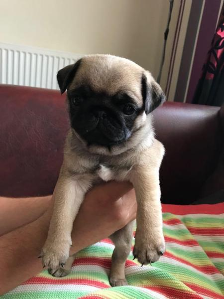 Find Pug puppies and dogs for sale in Leeds, AL, USA on oraplanrans.tk